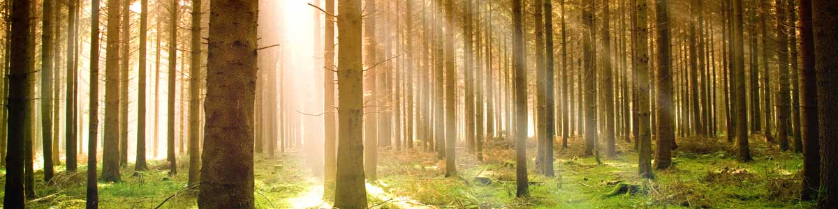 sunlight shining through forest