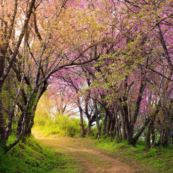 cherry blossom pink sakura in Thailand and a footpath leading in