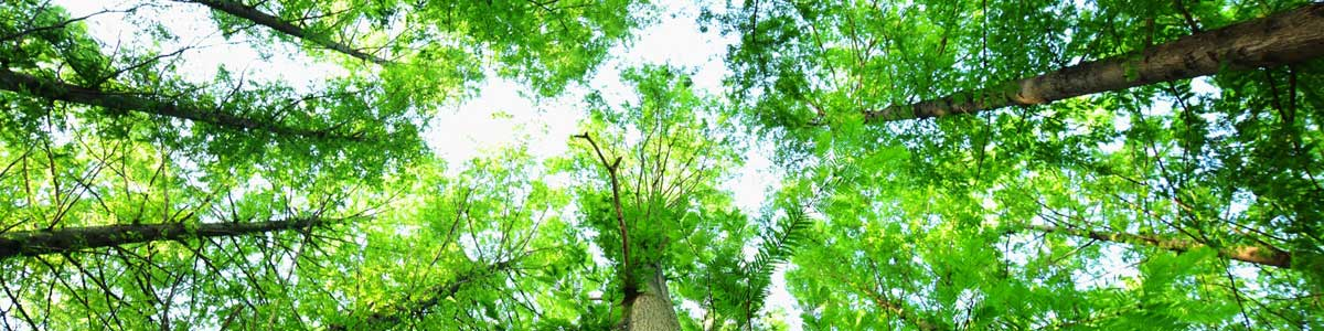 bottom view of tree tops